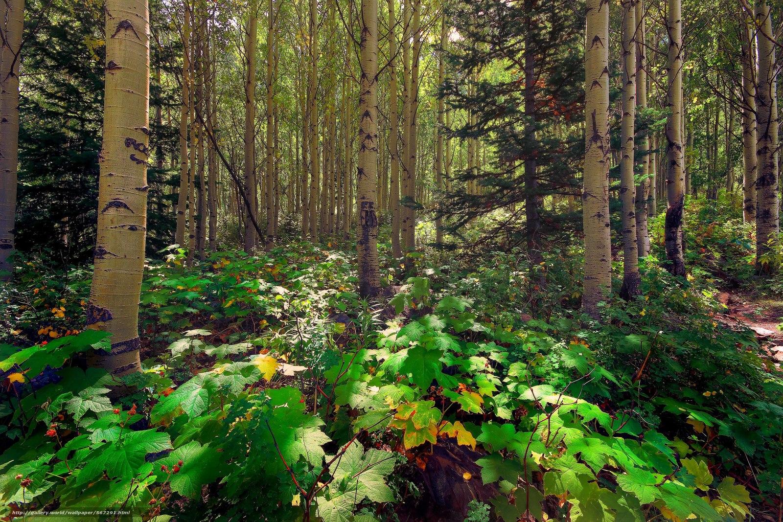下载壁纸 松,  白杨,  阳光,  森林 免费为您的桌面分辨率的壁纸 5183x3455 — 图片 №567291