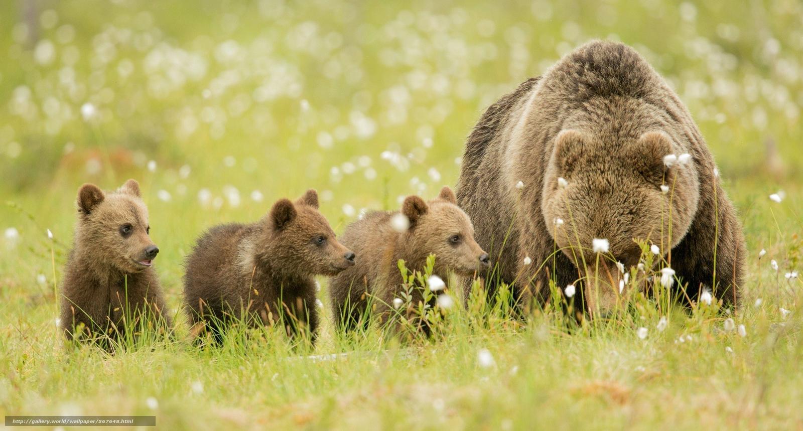 Скачать обои поляна,  медвежата,  медведи,  бурые бесплатно для рабочего стола в разрешении 2048x1099 — картинка №567648