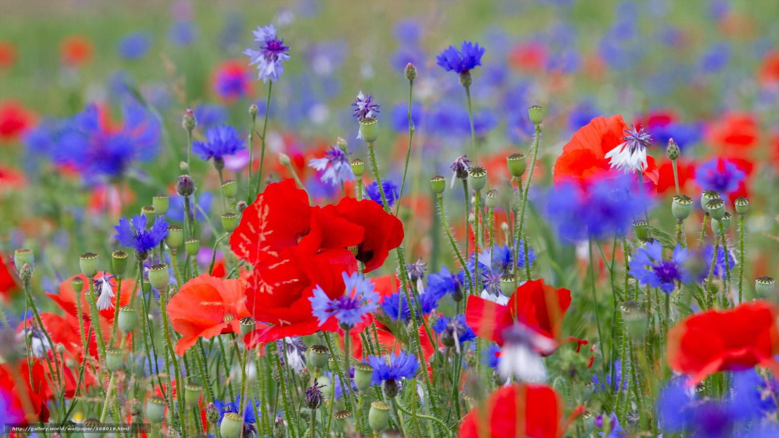 Tlcharger fond d 39 ecran fleurs coquelicots nature t for Fond ecran ete fleurs