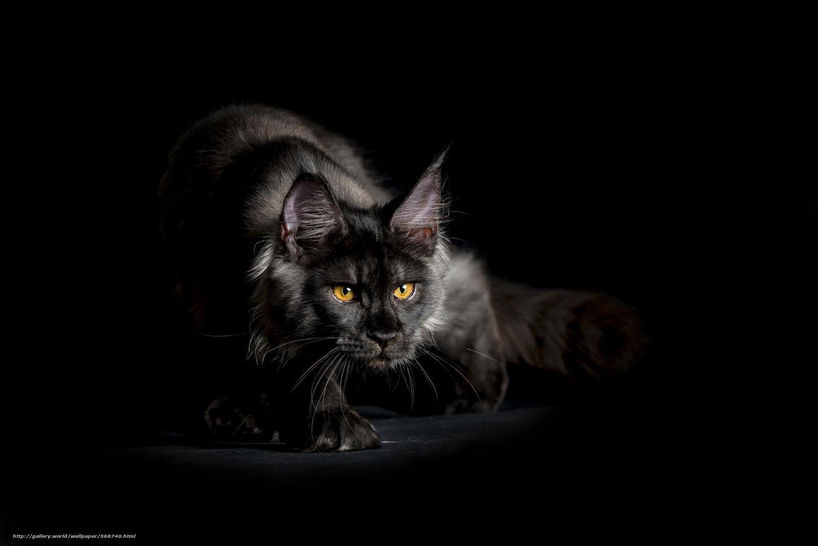 Скачать бесплатно обои черный кот