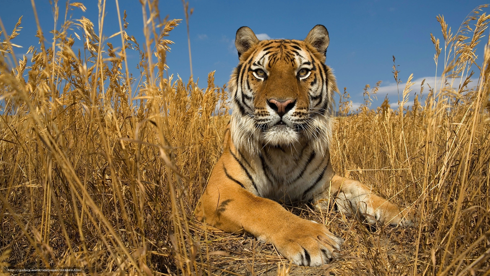 Tlcharger Fond d'ecran Amour, tigre, Tigre de Sibérie ...