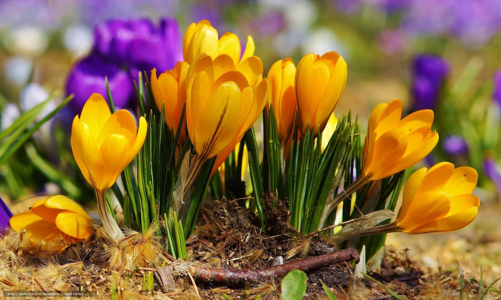 Scaricare gli sfondi viola fiori primavera giallo for Sfondi desktop primavera