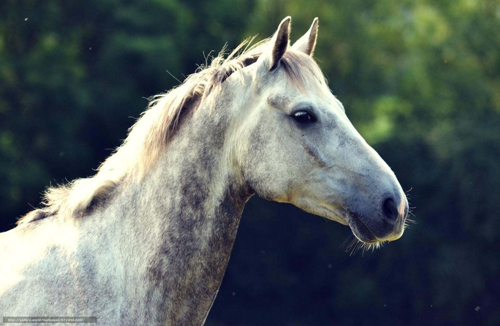 Tlcharger fond d 39 ecran profil griva t te cheval fonds d - Image tete de cheval ...