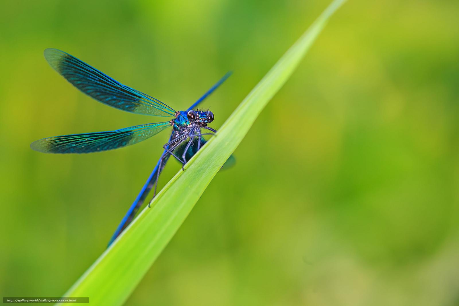 Скачать обои трава,  лист,  стрекоза,  голубая бесплатно для рабочего стола в разрешении 2048x1365 — картинка №571814
