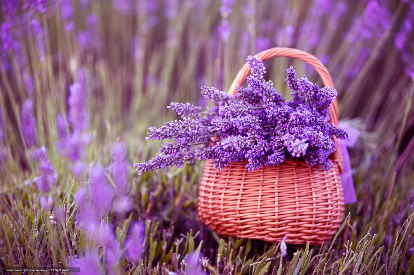 pobra tapety Kwiaty,  lawenda,  koszyk Darmowe tapety na pulpit rozdzielczoci 7000x4658 — zdjcie №571841