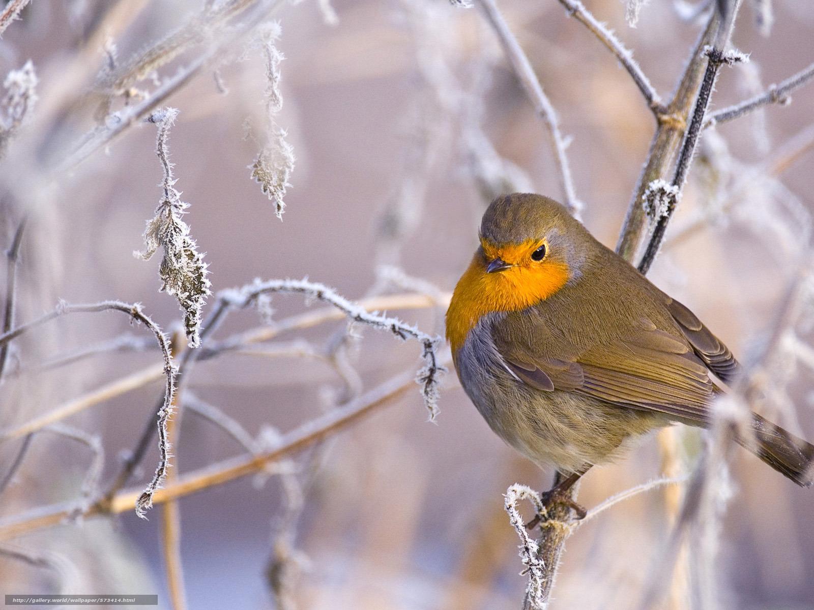 Scaricare Gli Sfondi Animali Uccelli Inverno Uccello Sfondi