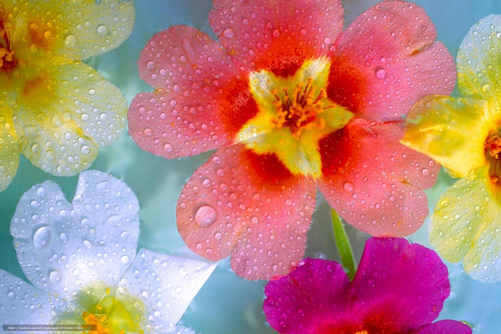 Download wallpaper Flowers,  nature,  zastavka.oboi,  dew free desktop wallpaper in the resolution 2299x1533 — picture №573863