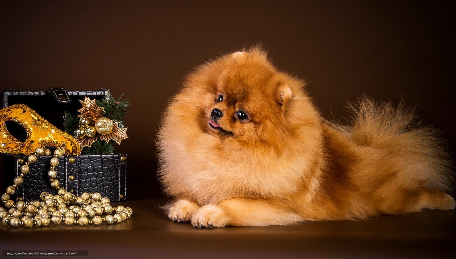 Descargar gratis máscara,  perro,  guirnalda,  perro de Pomerania Fondos de escritorio en la resolucin 2992x1706 — imagen №574116
