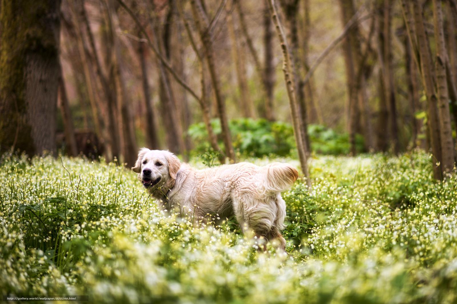 Tlcharger Fond d'ecran Fleurs,  forêt,  Retriever,  chien Fonds d'ecran gratuits pour votre rsolution du bureau 2048x1362 — image №575149