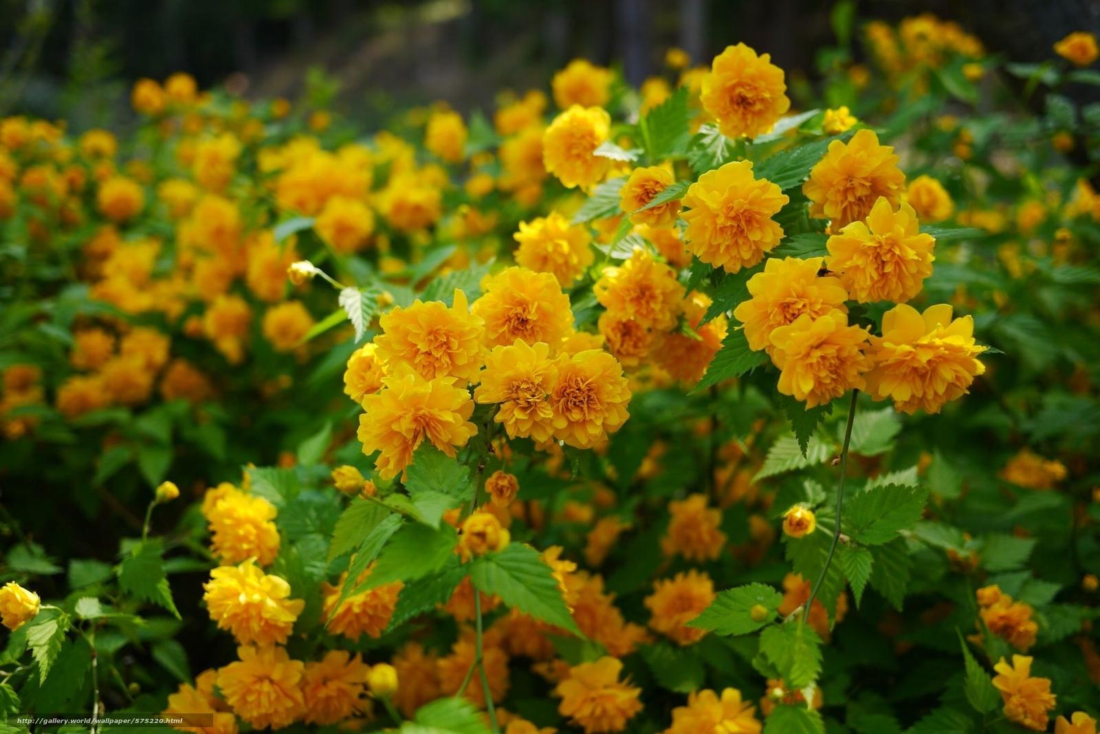 Керия цветок