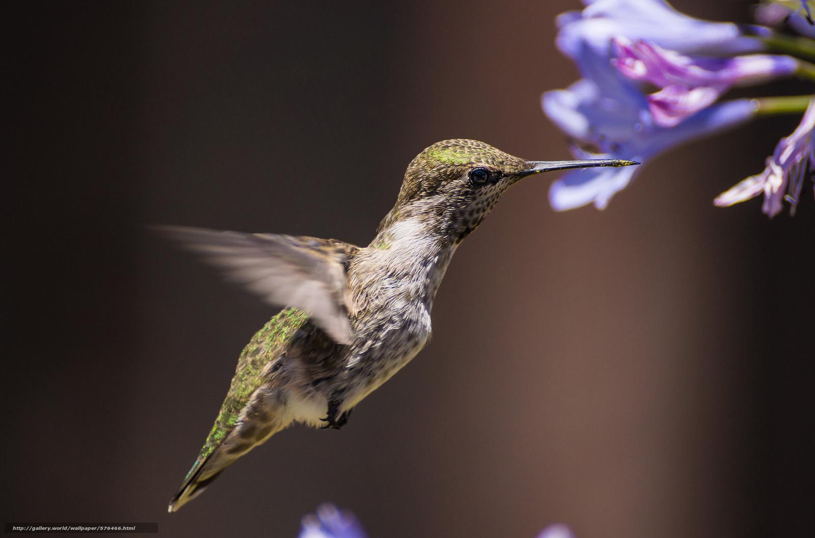 Скачать обои цветы,  птичка,  колибри,  фон бесплатно для рабочего стола в разрешении 2048x1353 — картинка №576466