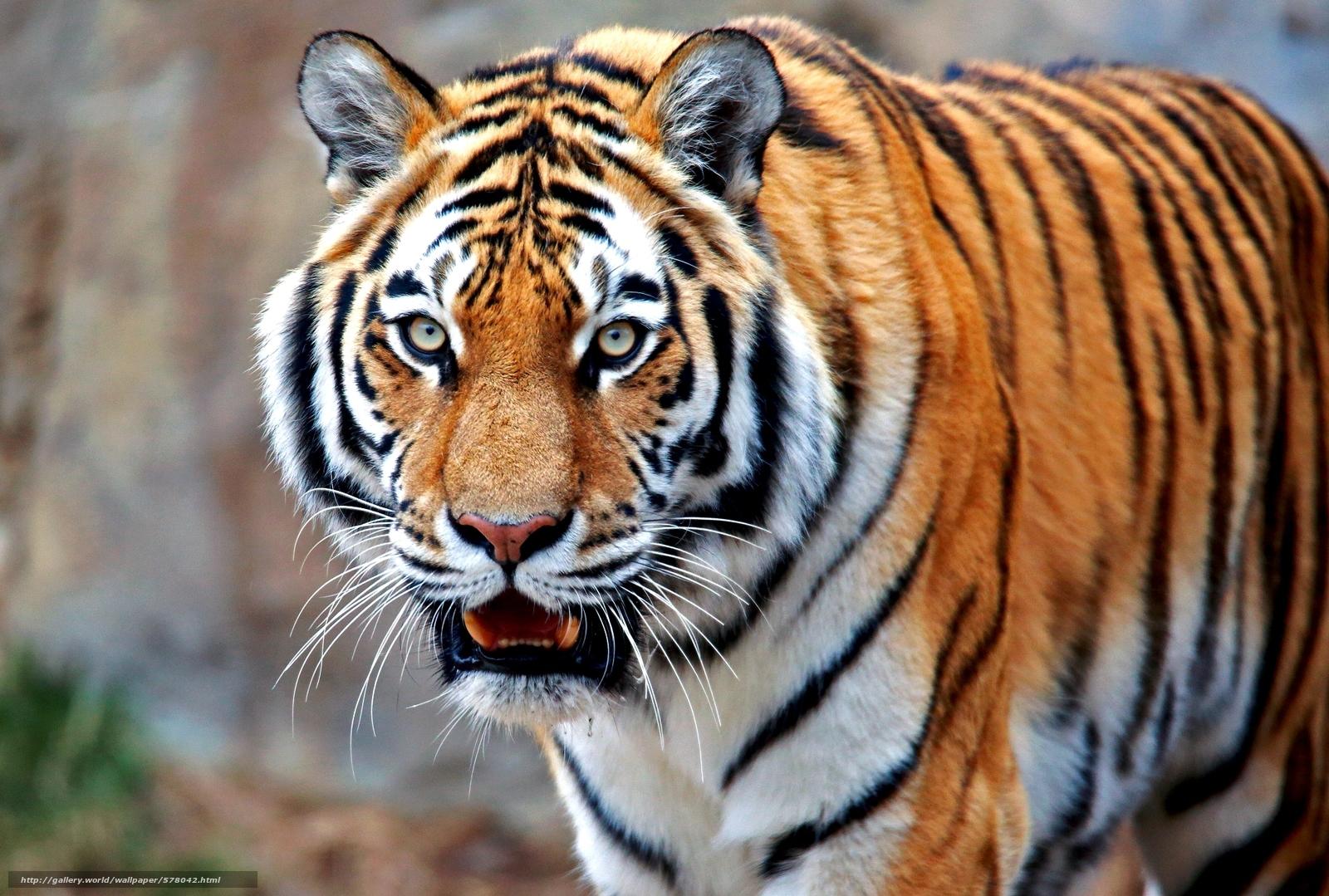 Mostrar paredes de tira de tigre
