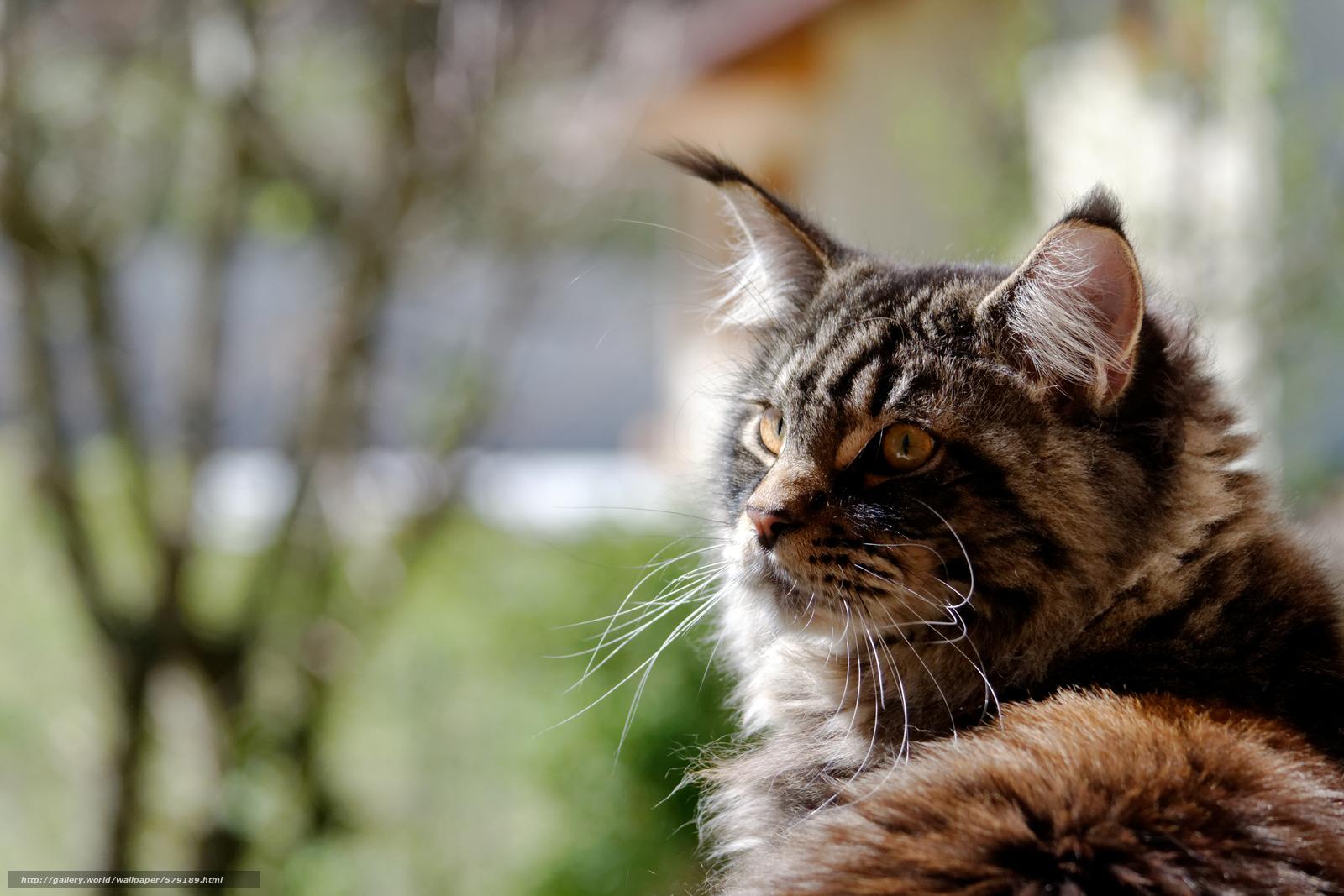 壁紙をダウンロード フルスクリーン,  メインクーン,  背景,  猫 デスクトップの解像度のための無料壁紙 4608x3072 — 絵 №579189
