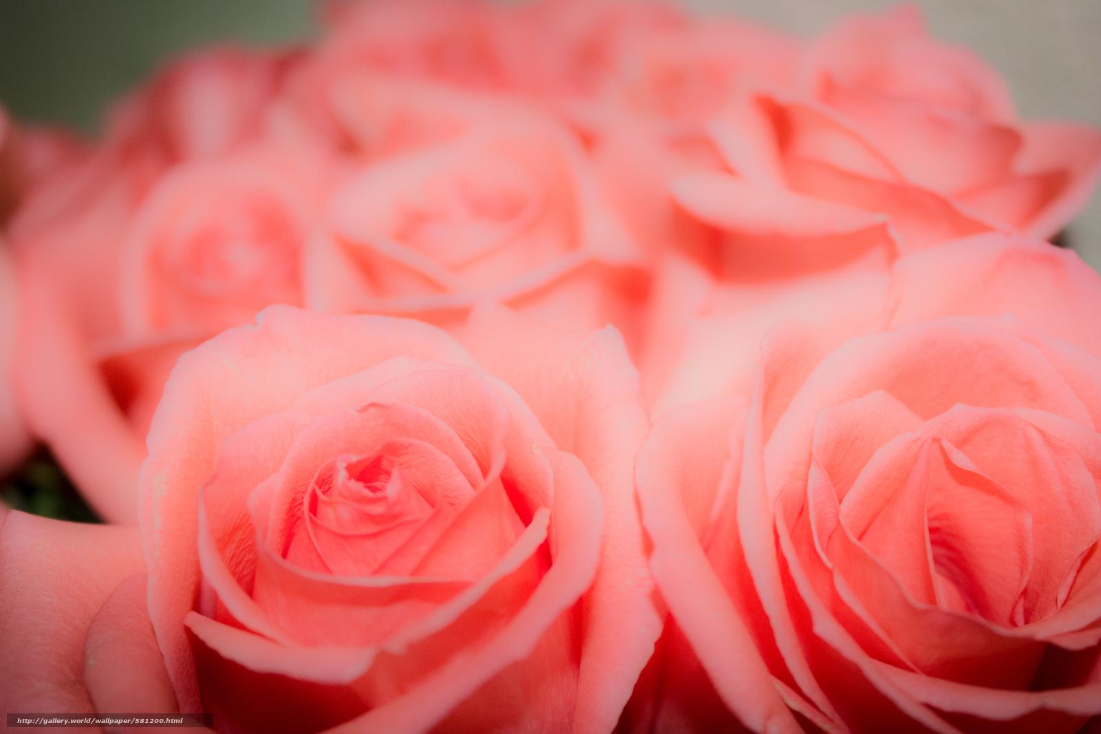 Скачать обои фон,  розовый,  бутон,  цветы бесплатно для рабочего стола в разрешении 5184x3456 — картинка №581200