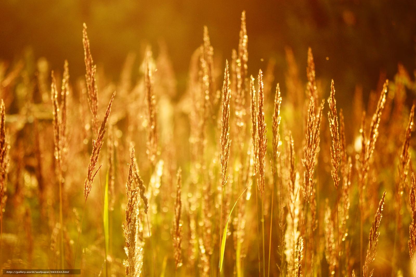 壁紙をダウンロード 自然,  太陽,  夏,  トウモロコシの穂 デスクトップの解像度のための無料壁紙 4608x3072 — 絵 №583343