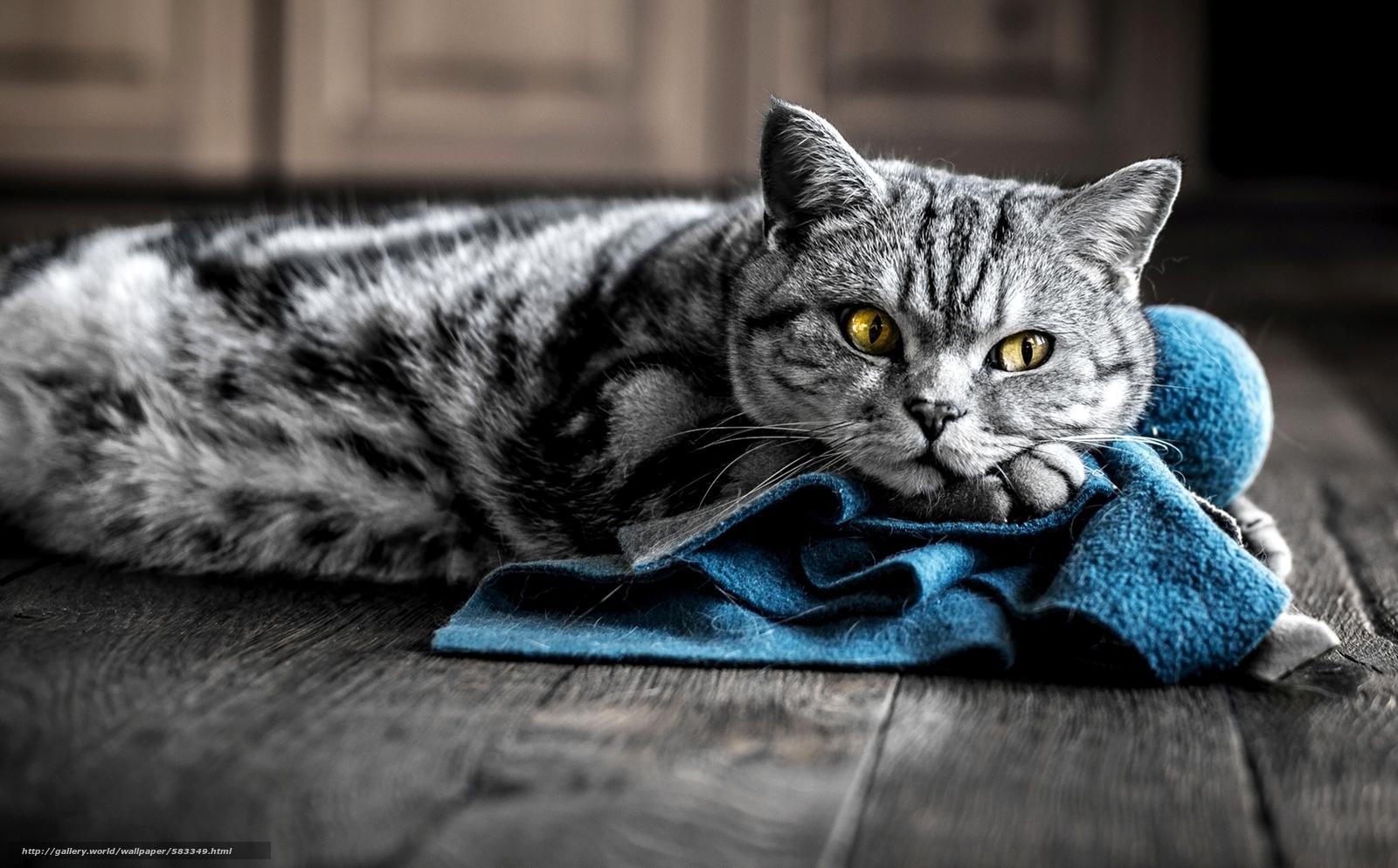 Скачать обои окрас,  желтые,  синяя,  кошка бесплатно для рабочего стола в разрешении 2000x1242 — картинка №583349