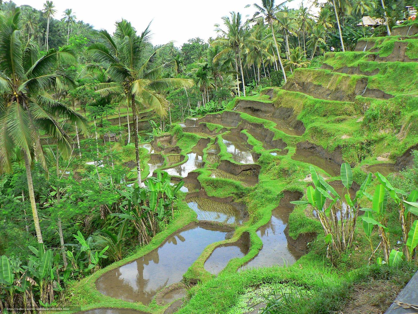 scaricare gli sfondi Risaie a terrazze,  campi di riso,  Palme,  paesaggio Sfondi gratis per la risoluzione del desktop 2560x1920 — immagine №585285