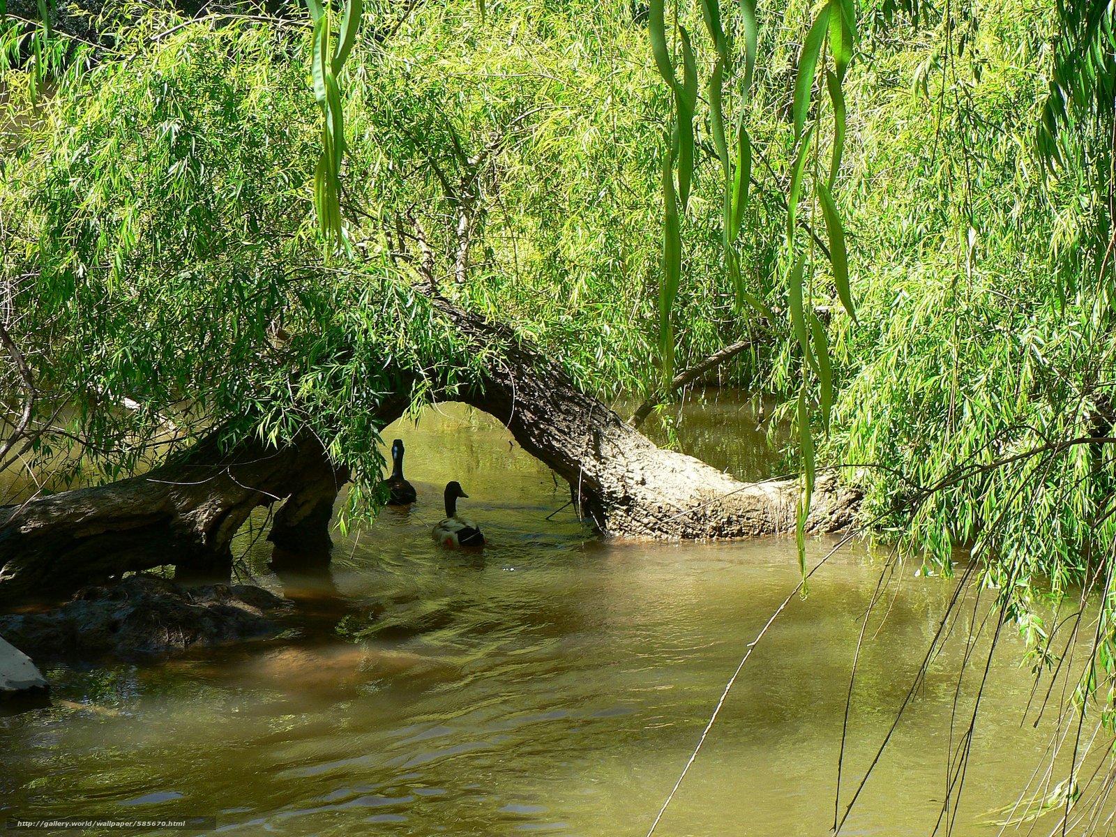 scaricare gli sfondi fiume,  alberi,  FILIALE,  Anatra Sfondi gratis per la risoluzione del desktop 2560x1920 — immagine №585670