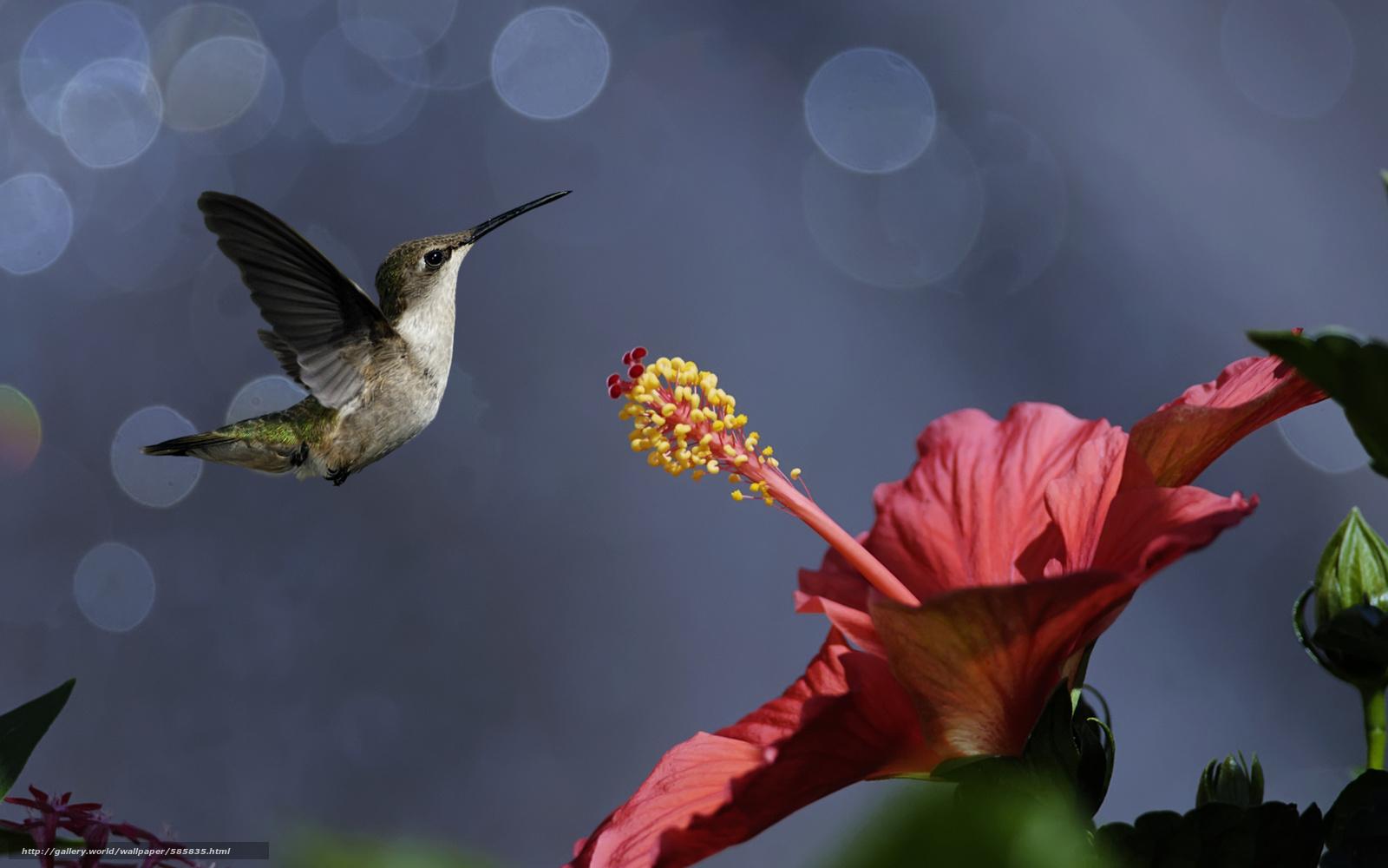 Скачать обои гибискус,  цветок,  птичка,  птицы бесплатно для рабочего стола в разрешении 2560x1600 — картинка №585835