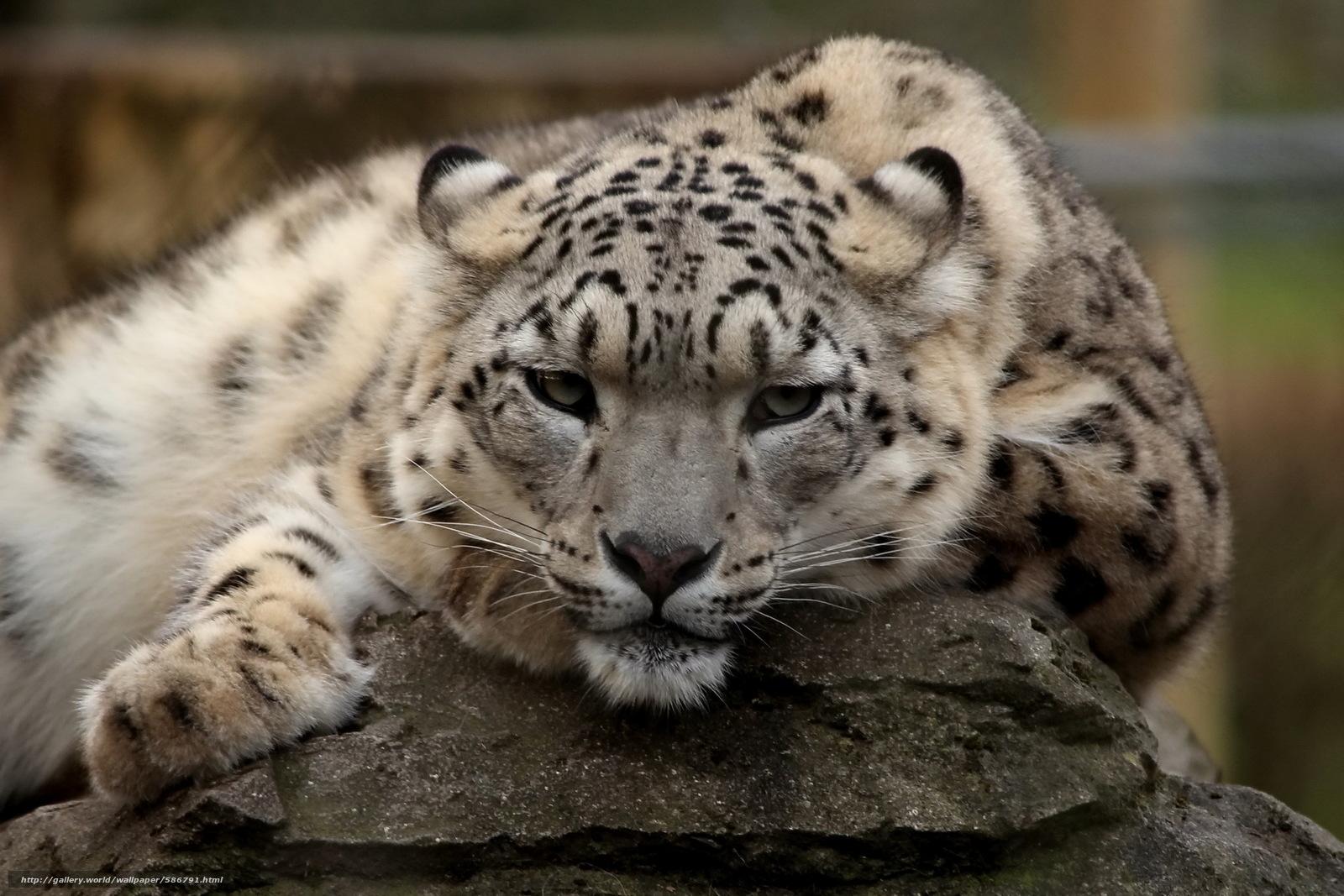 Картинки дальневосточный леопард