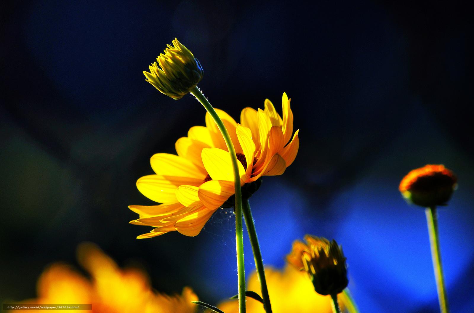 Скачать обои бутоны,  фон,  цветы,  синий бесплатно для рабочего стола в разрешении 2048x1353 — картинка №587034