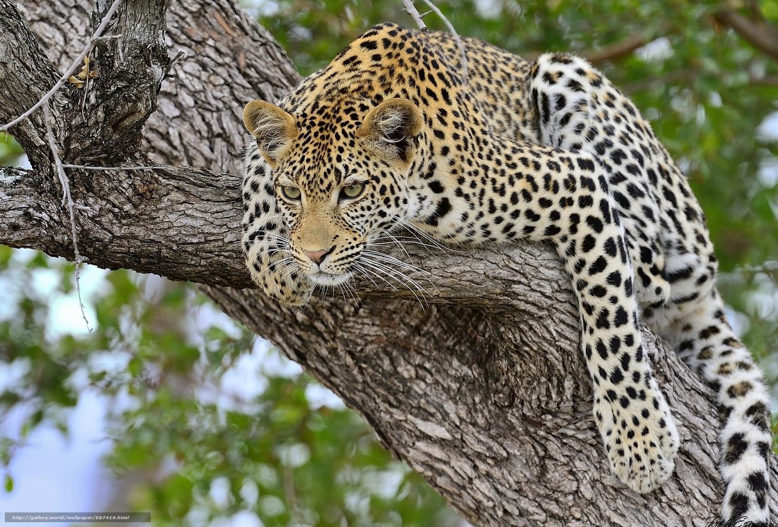 Download wallpaper predator,  leopard,  tree,  wildcat free desktop wallpaper in the resolution 2048x1387 — picture №587419
