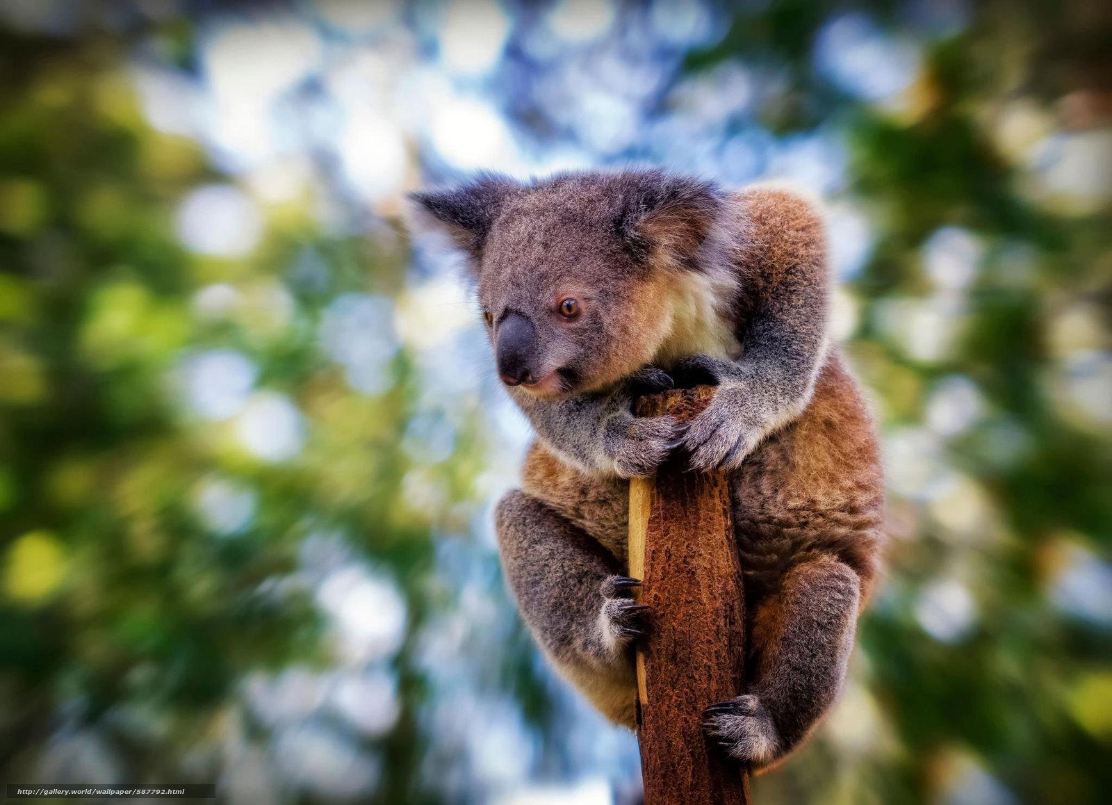 Download wallpaper view,  koala,  degradation free desktop wallpaper in the resolution 2048x1482 — picture №587792