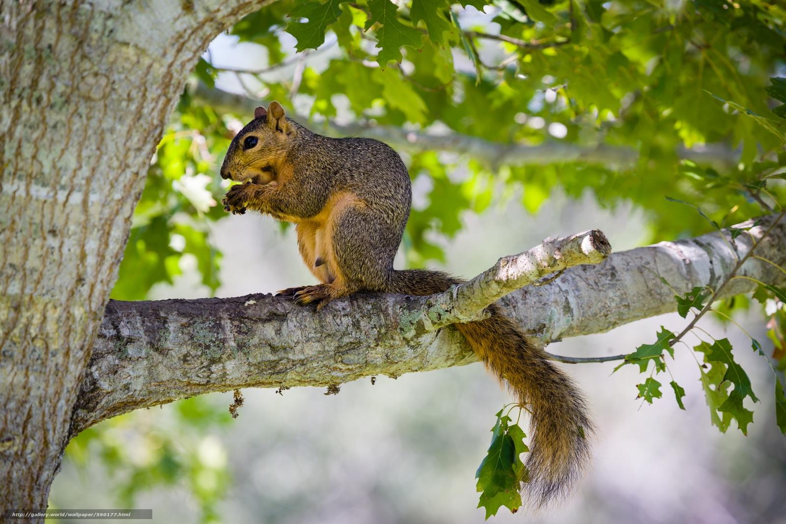 download hintergrund eichhörnchen baum tier freie