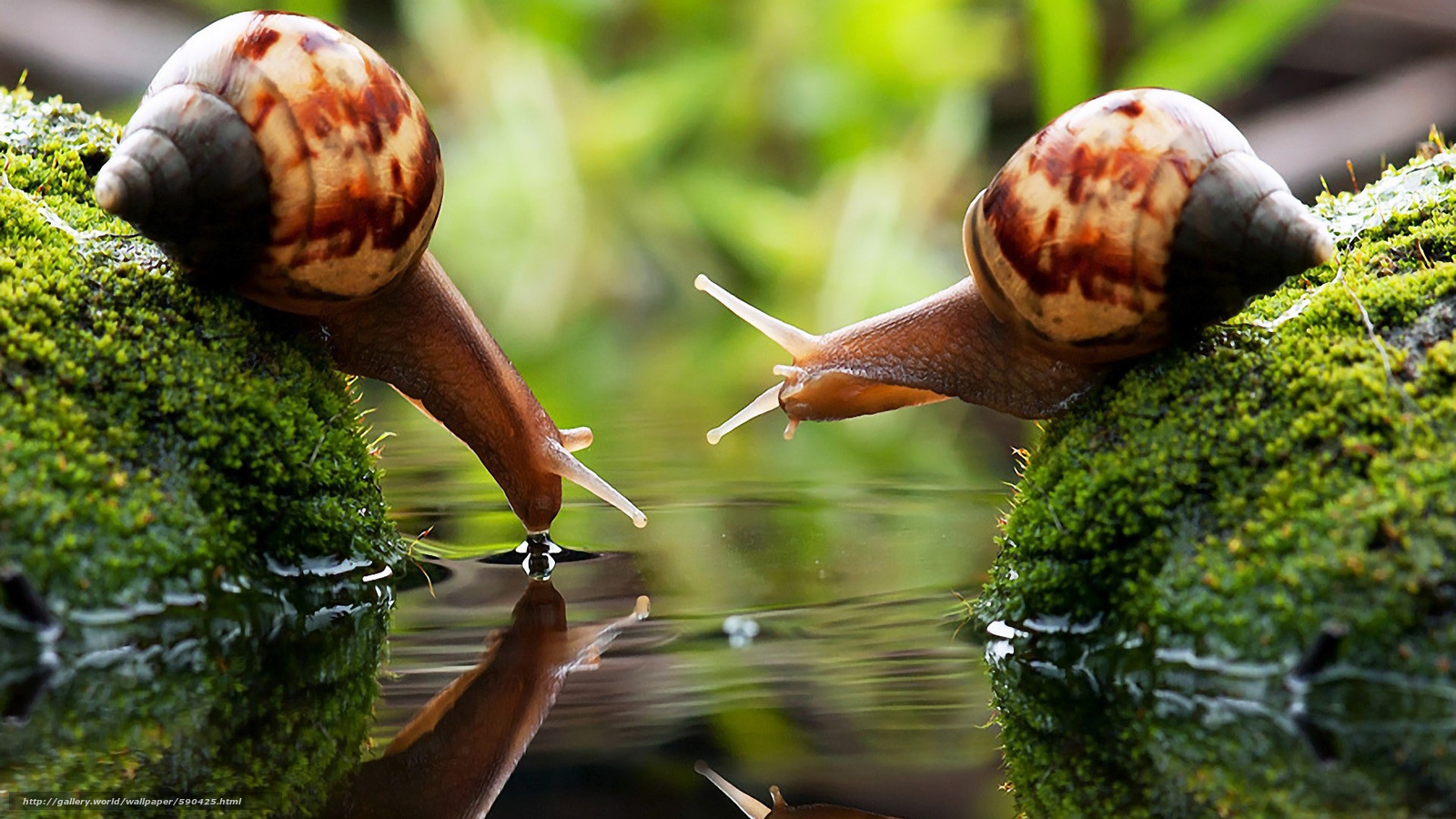 Download wallpaper Two snails in water drinking water,  reflection,  waves,  horns free desktop wallpaper in the resolution 1920x1080 — picture №590425