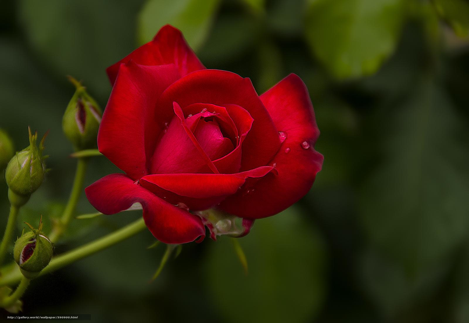 pobra tapety róża,  kwiat,  flora Darmowe tapety na pulpit rozdzielczoci 2100x1447 — zdjcie №590900