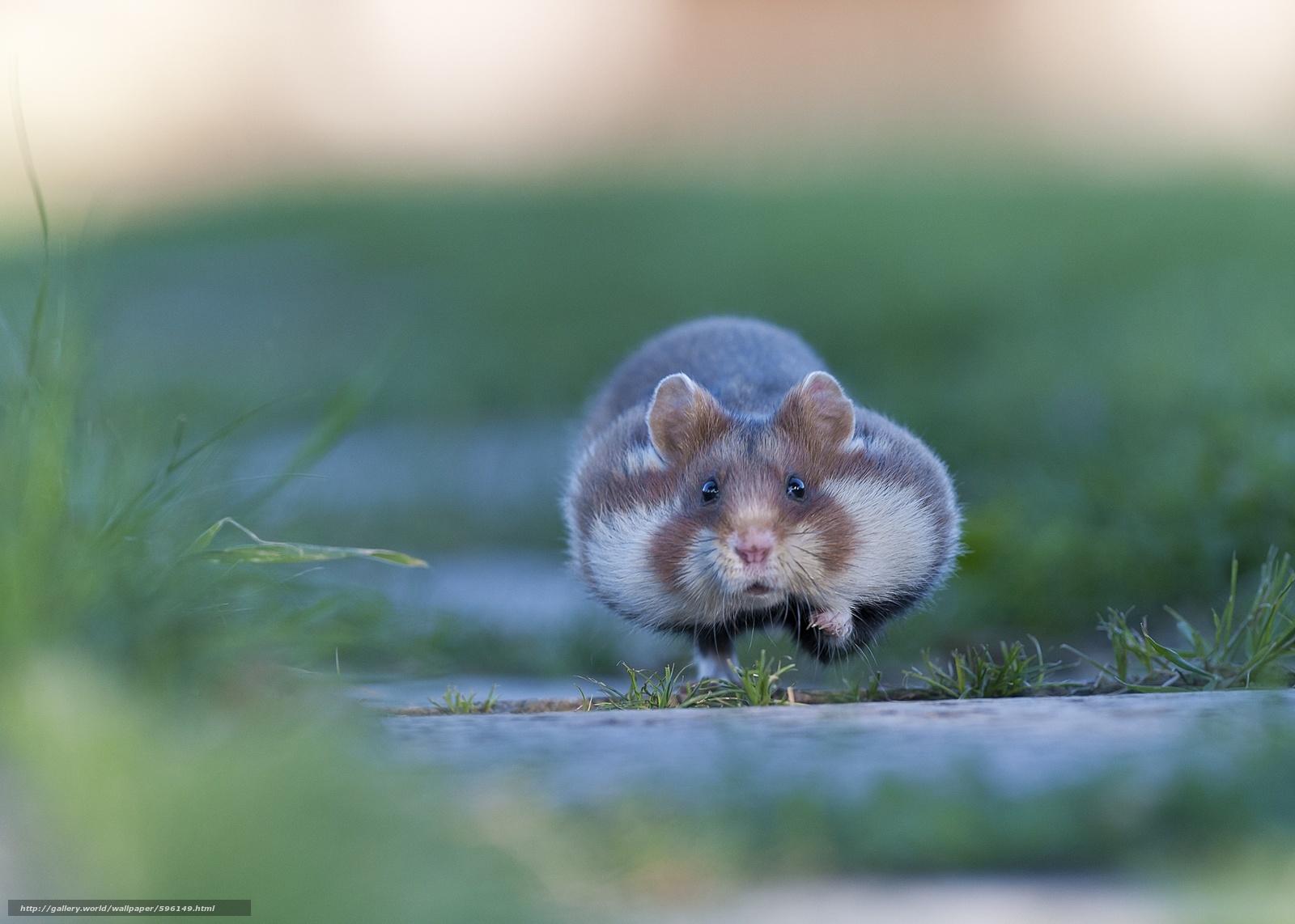 Tlcharger fond d 39 ecran nature hamster herbe course fonds d 39 ecran gratuits pour votre - Hamster gratuit ...