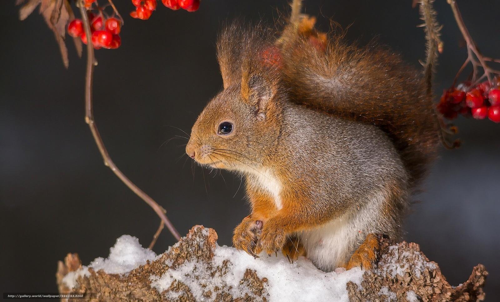 下载壁纸 松鼠,  啮齿动物,  动物 免费为您的桌面分辨率的壁纸 1920x1161 — 图片 №596153