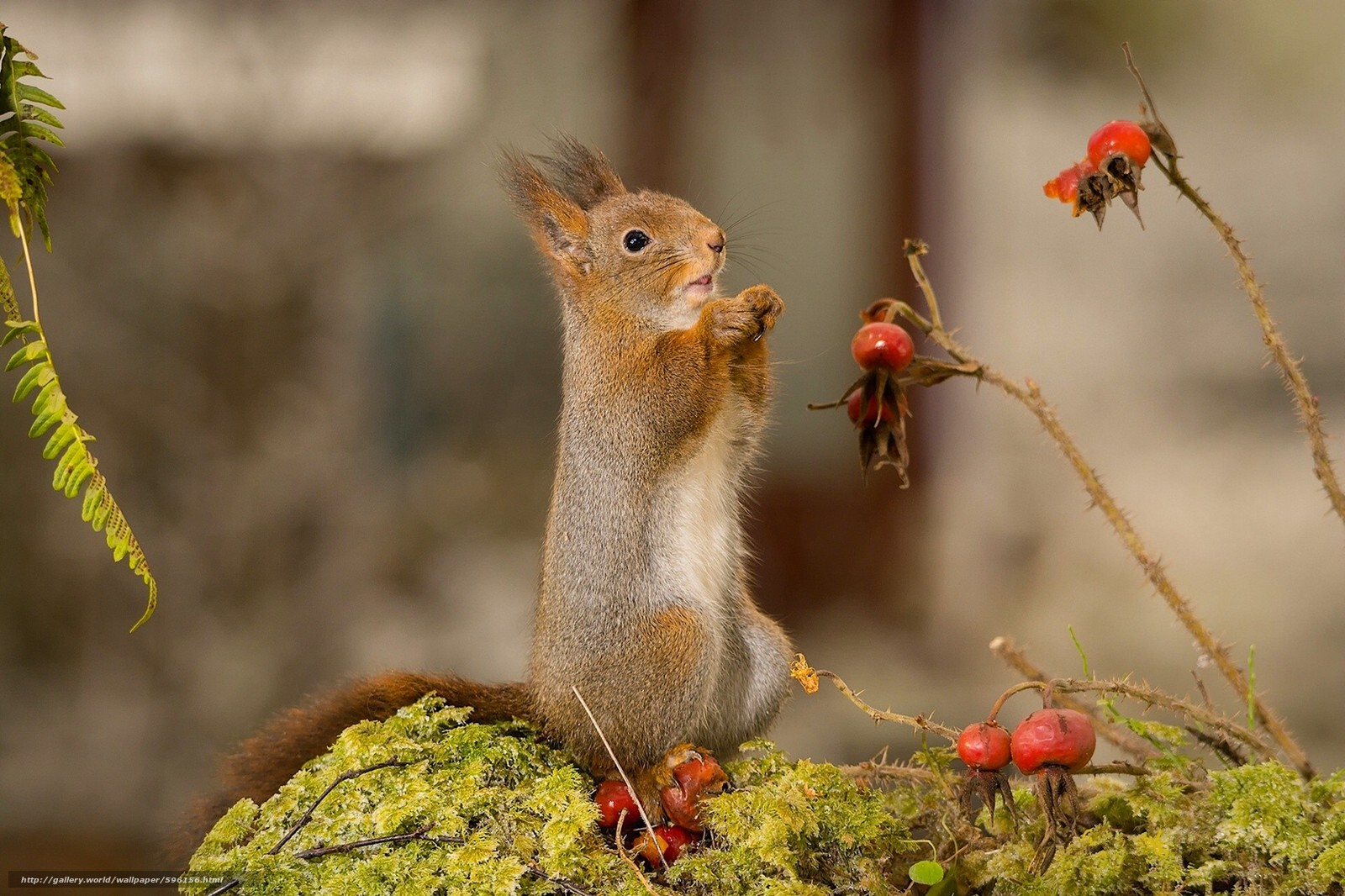 scaricare gli sfondi scoiattolo,  roditore,  animale Sfondi gratis per la risoluzione del desktop 1920x1279 — immagine №596156