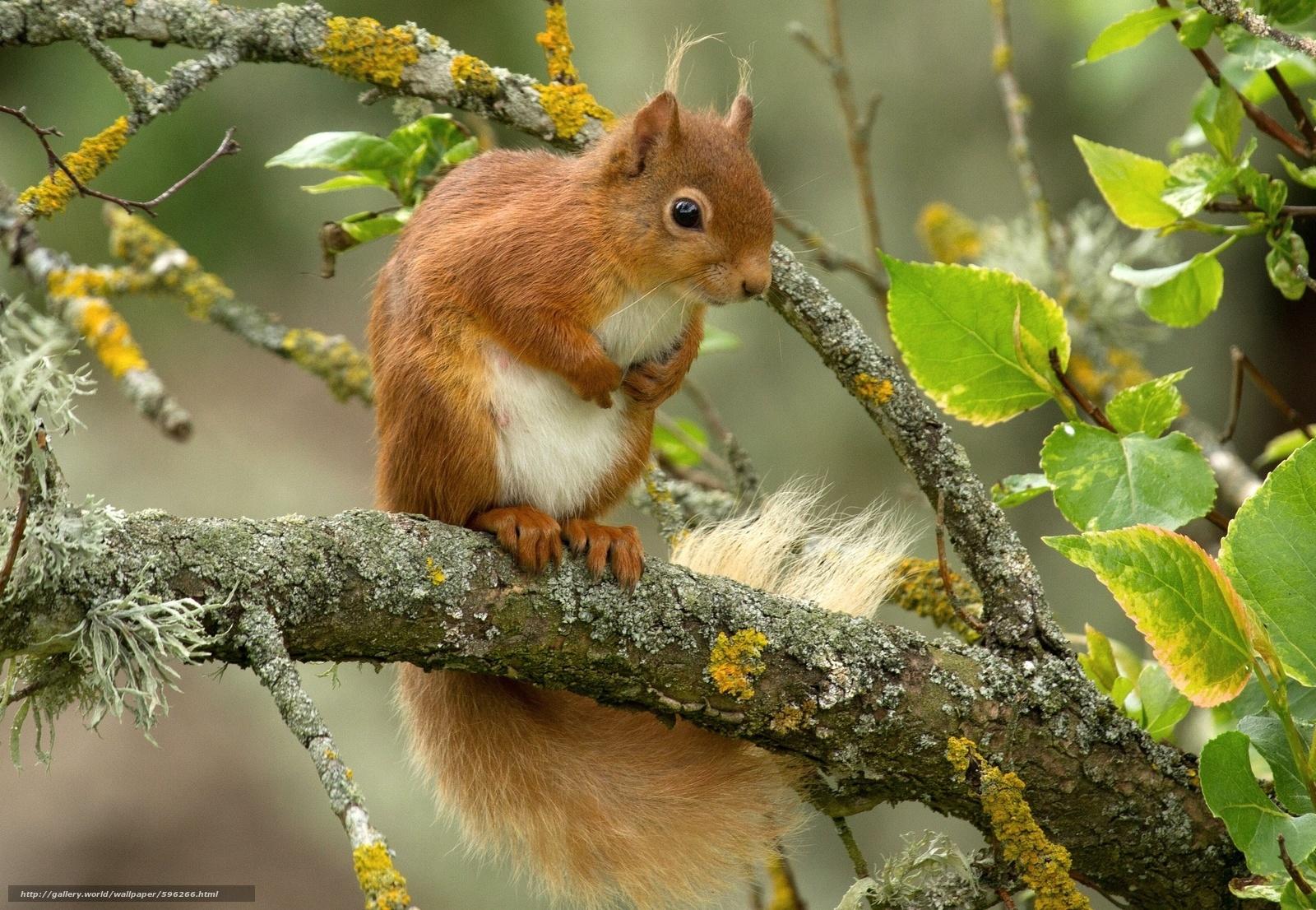 Tlcharger fond d 39 ecran cureuil roux arbre branch fonds for Bureau fond d ecran