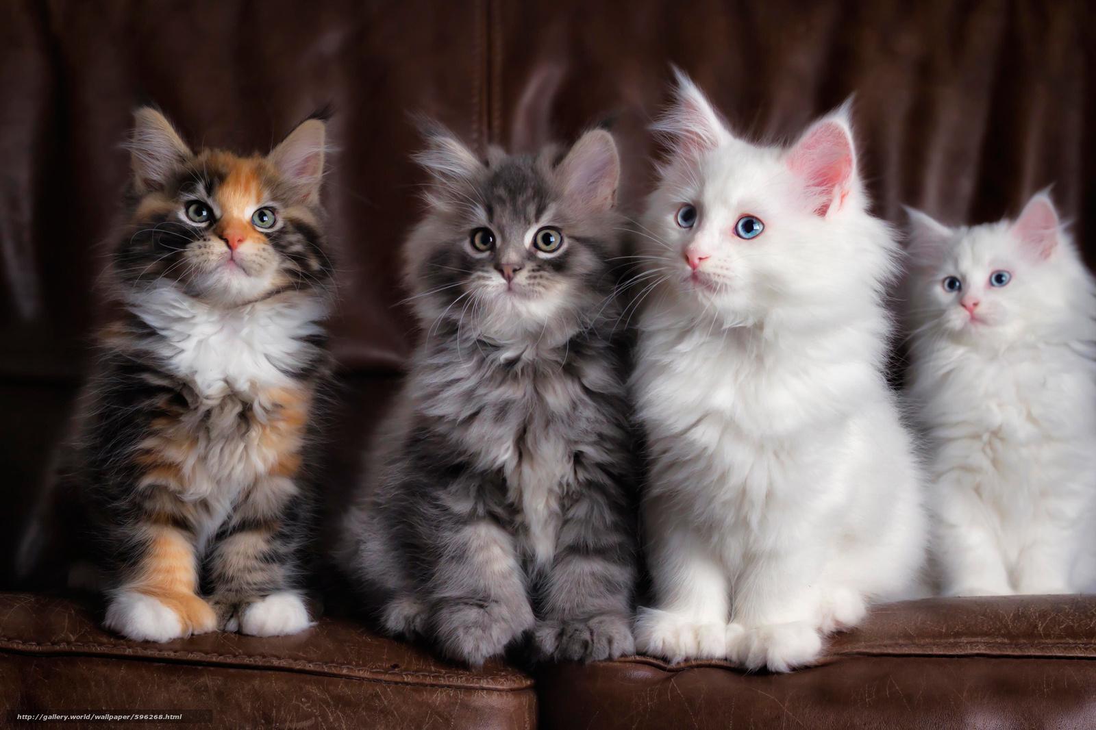 tlcharger fond decran chatons maine coon animaux fonds decran gratuits pour votre rsolution du bureau 2048x1365 image 596268
