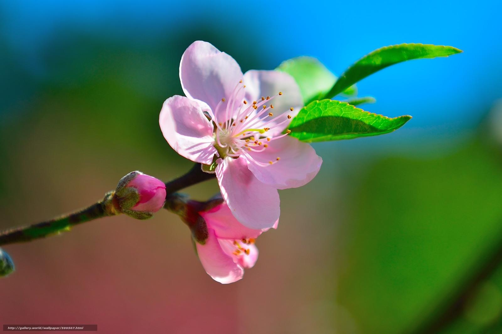 Descargar gratis cereza,  Flores,  rama,  flora Fondos de escritorio en la resolucin 2400x1600 — imagen №599507