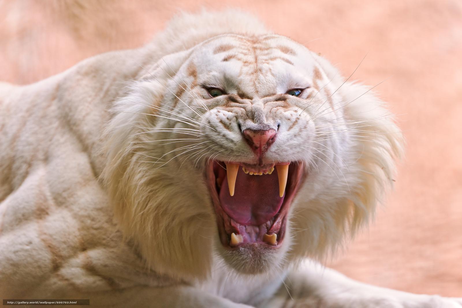 Скачать обои белый тигр,  хищник,  оскал бесплатно для рабочего стола в разрешении 3982x2655 — картинка №600703