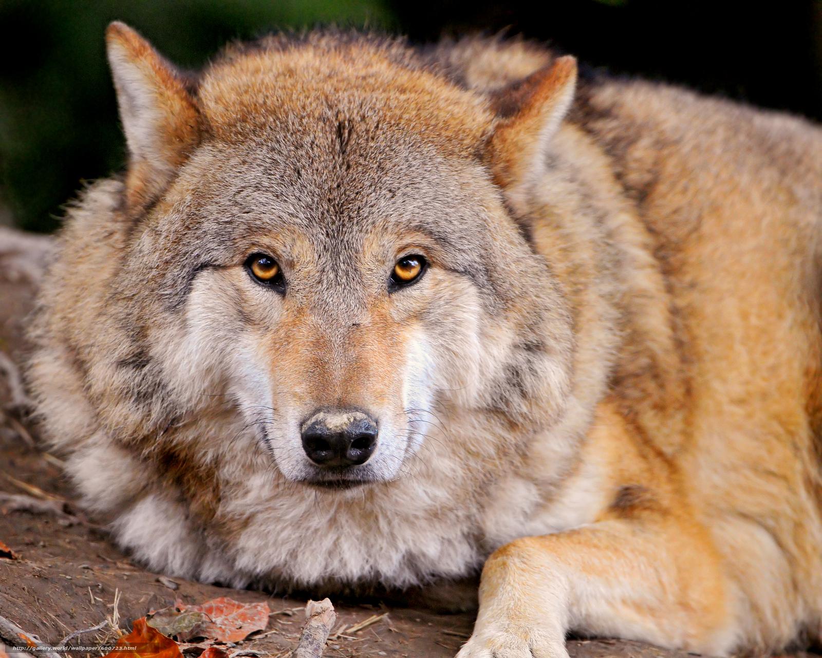 scaricare gli sfondi lupo,  predatore,  animale Sfondi gratis per la risoluzione del desktop 3556x2848 — immagine №600723