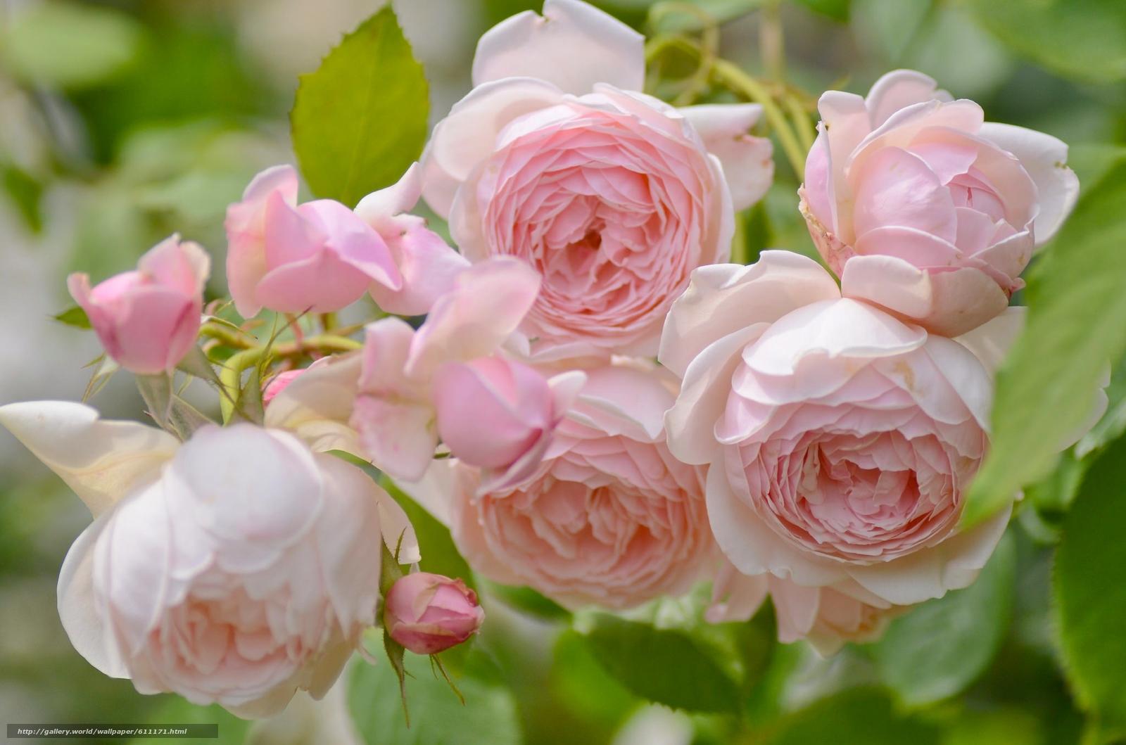 scaricare gli sfondi Roses,  GERMOGLI,  Macro,  tenerezza Sfondi gratis per la risoluzione del desktop 2048x1356 — immagine №611171