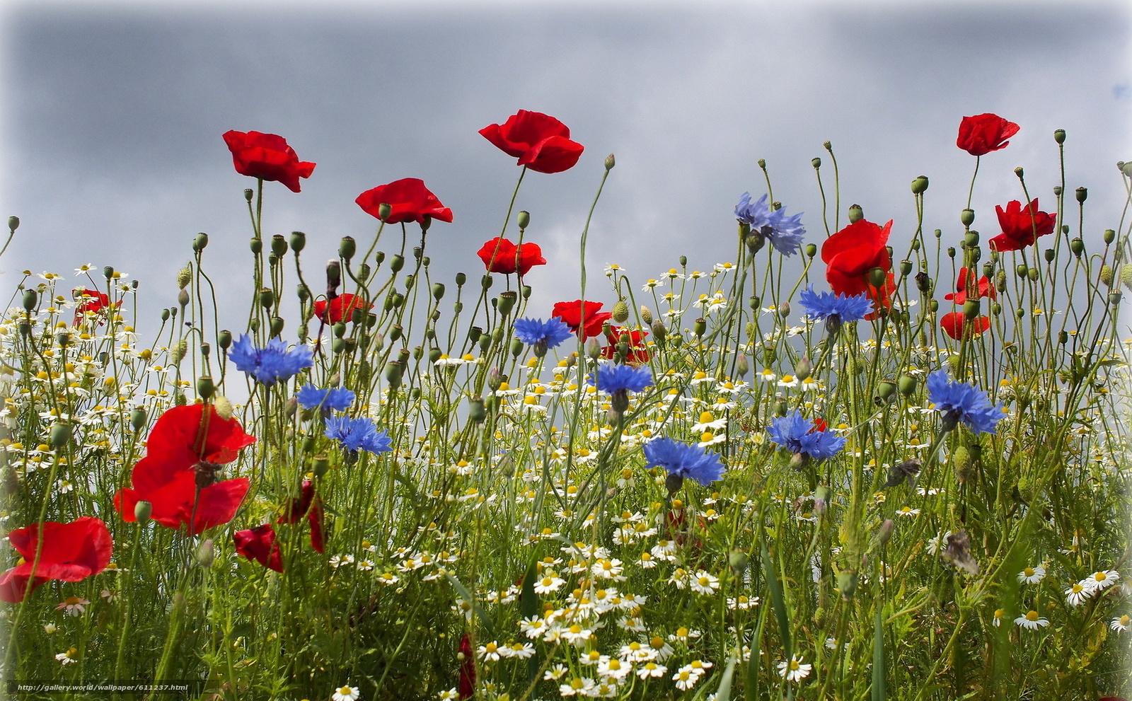 Скачать обои поле,  цветы,  ромашки,  васильки бесплатно для рабочего стола в разрешении 1920x1189 — картинка №611237