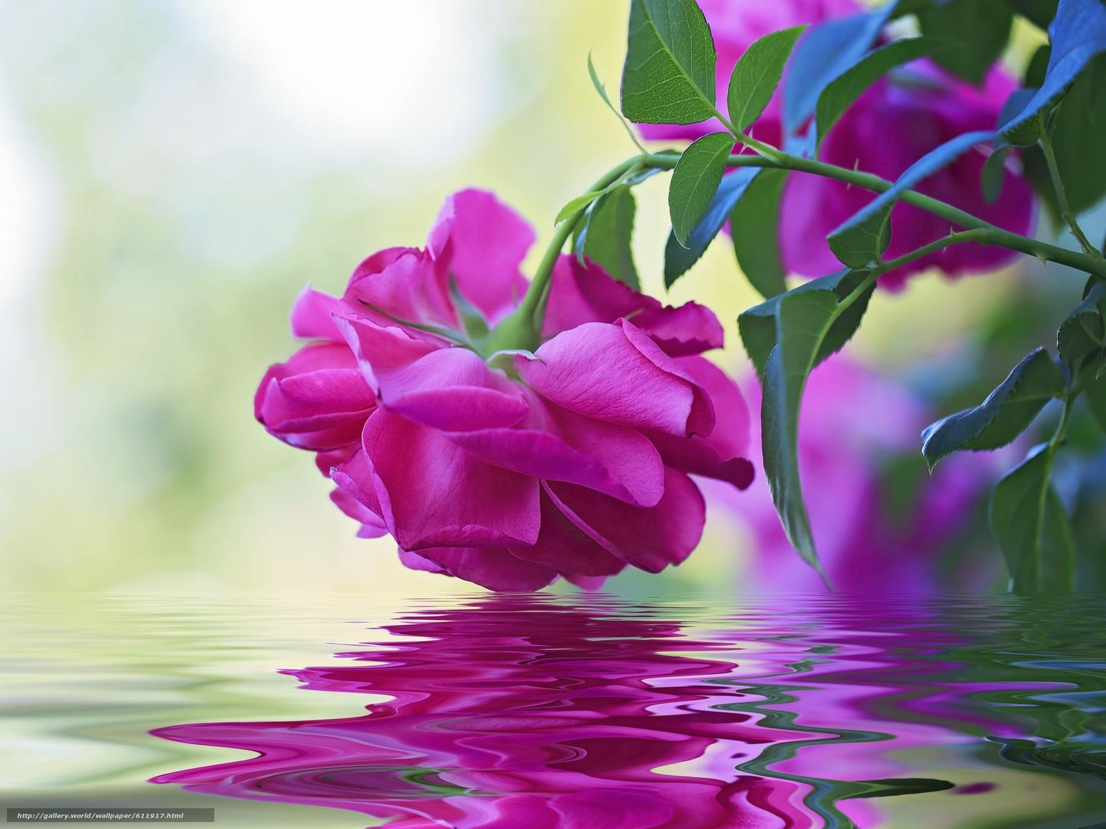 Скачать обои роза,  бутон,  вода,  отражение бесплатно для рабочего стола в разрешении 2048x1535 — картинка №611917