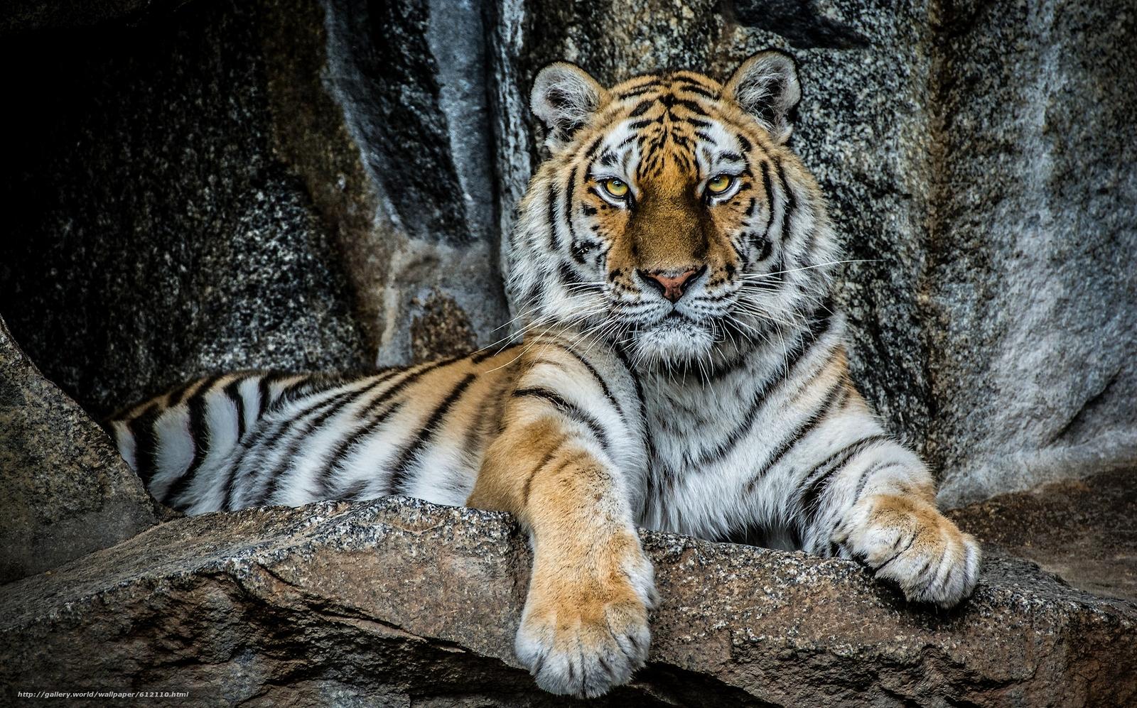 scaricare gli sfondi tigre,  bello,  visualizzare,  pietre Sfondi gratis per la risoluzione del desktop 2048x1276 — immagine №612110