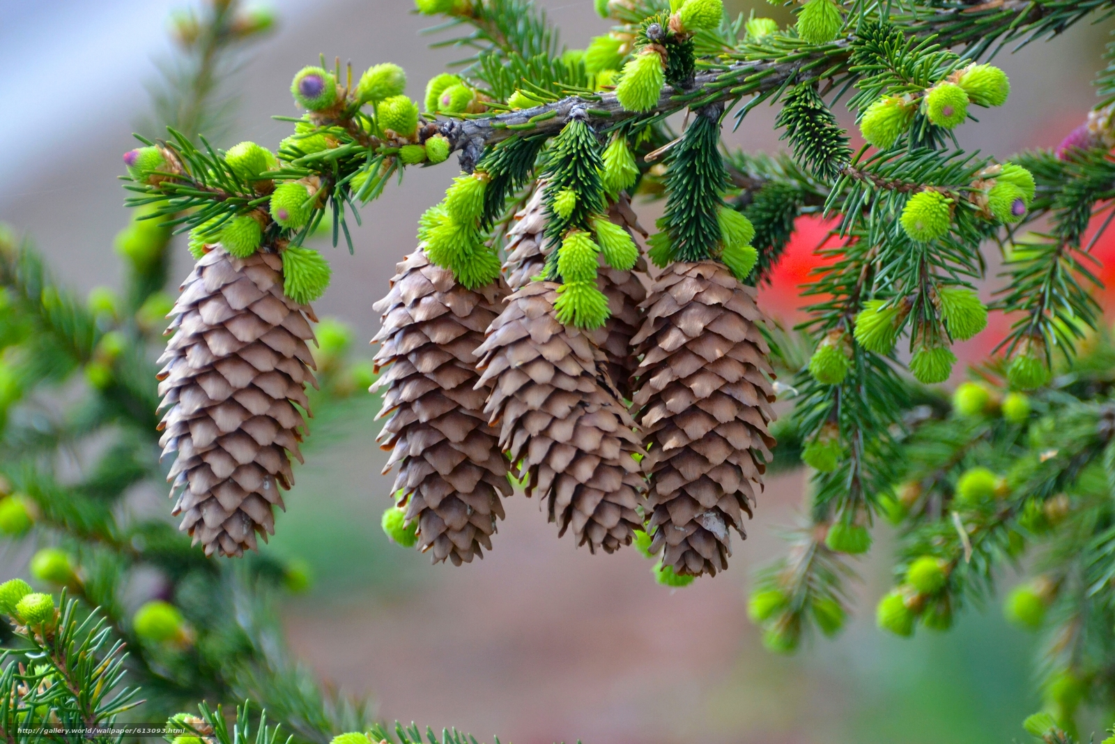 Download wallpaper branch,  Cones,  needles,  Macro free desktop wallpaper in the resolution 2560x1707 — picture №613093