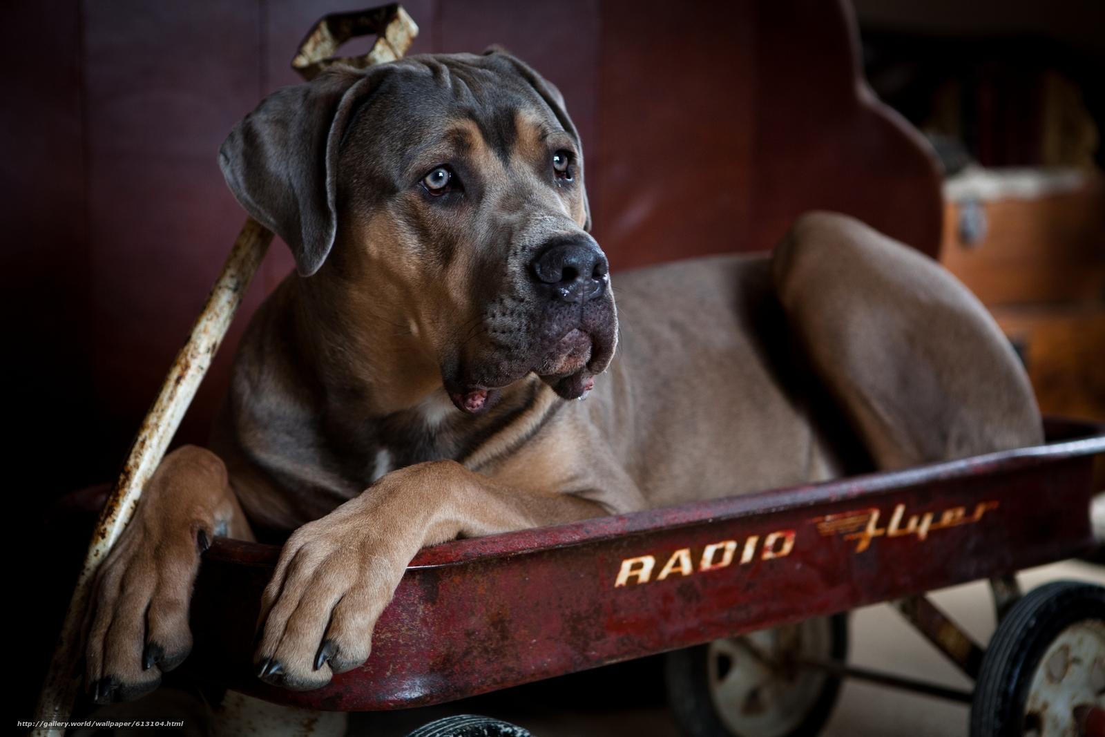 Скачать обои Кане-корсо,  собака,  пёс,  тележка бесплатно для рабочего стола в разрешении 2880x1920 — картинка №613104