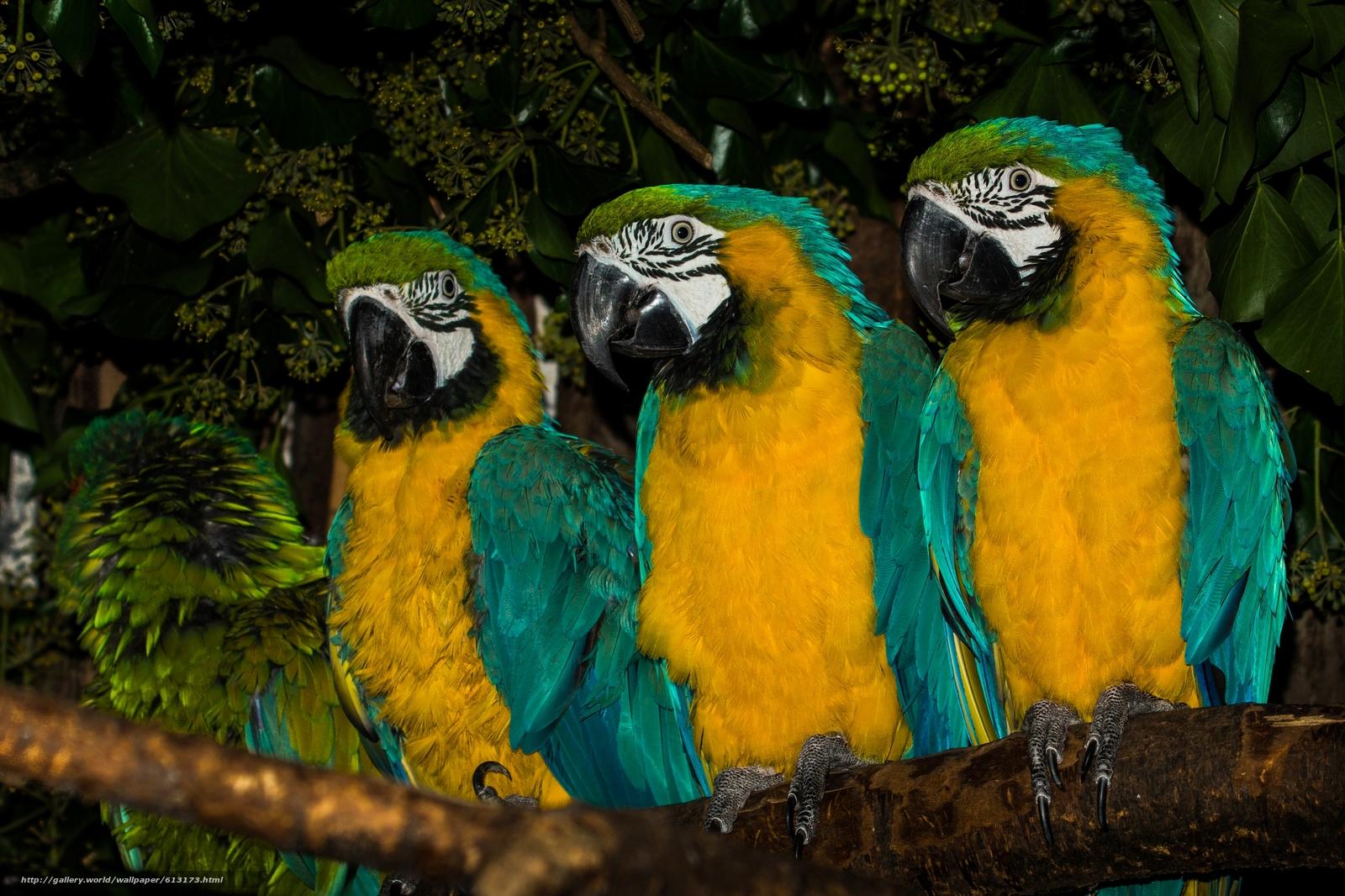 scaricare gli sfondi -Blu e giallo ara,  ara,  Pappagalli,  uccelli Sfondi gratis per la risoluzione del desktop 2880x1918 — immagine №613173