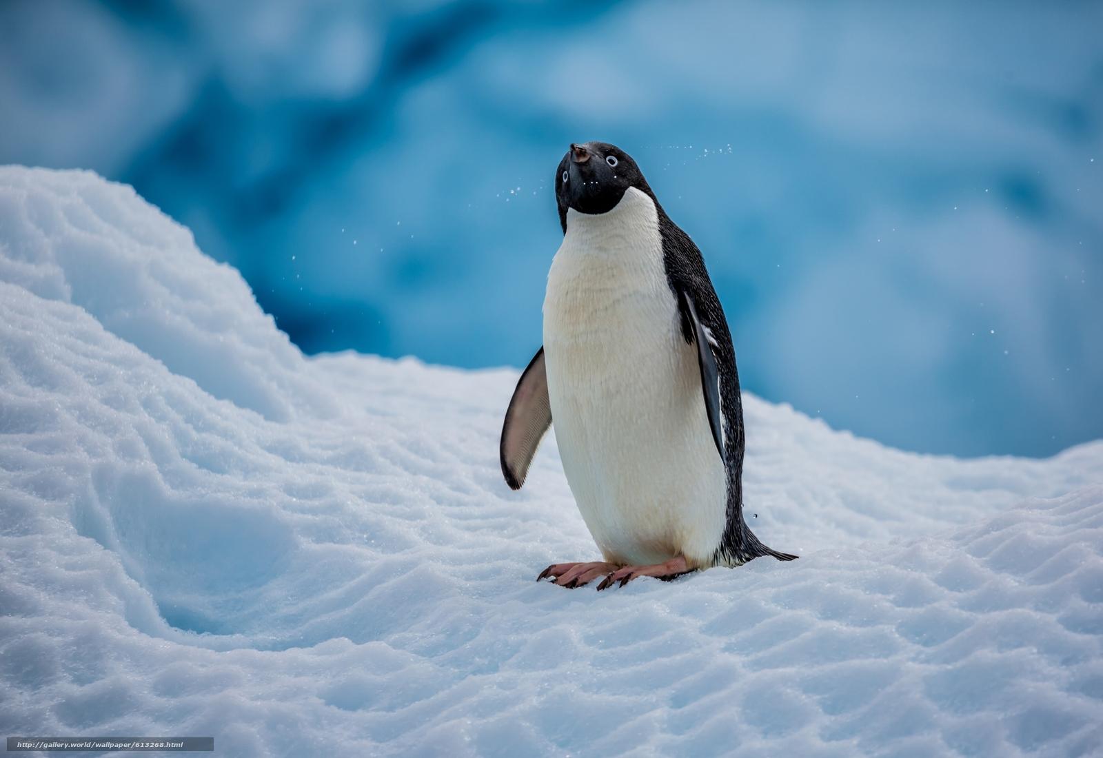 壁纸 动物 企鹅 1600_1100