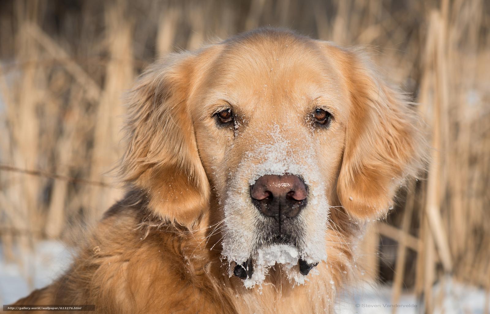 Tlcharger fond d 39 ecran golden retriever golden retriever chien chien fonds d 39 ecran gratuits - Golden retriever gratuit ...