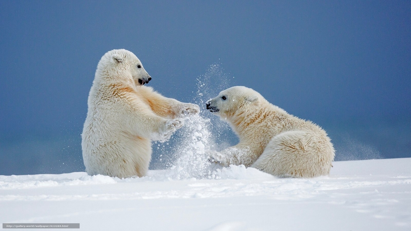 Tlcharger fond d 39 ecran ours polaires bears ours alaska for Sfondi gratis desktop inverno