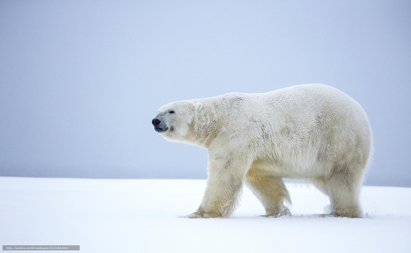 download wallpaper polar bear polar bear bear alaska. Black Bedroom Furniture Sets. Home Design Ideas
