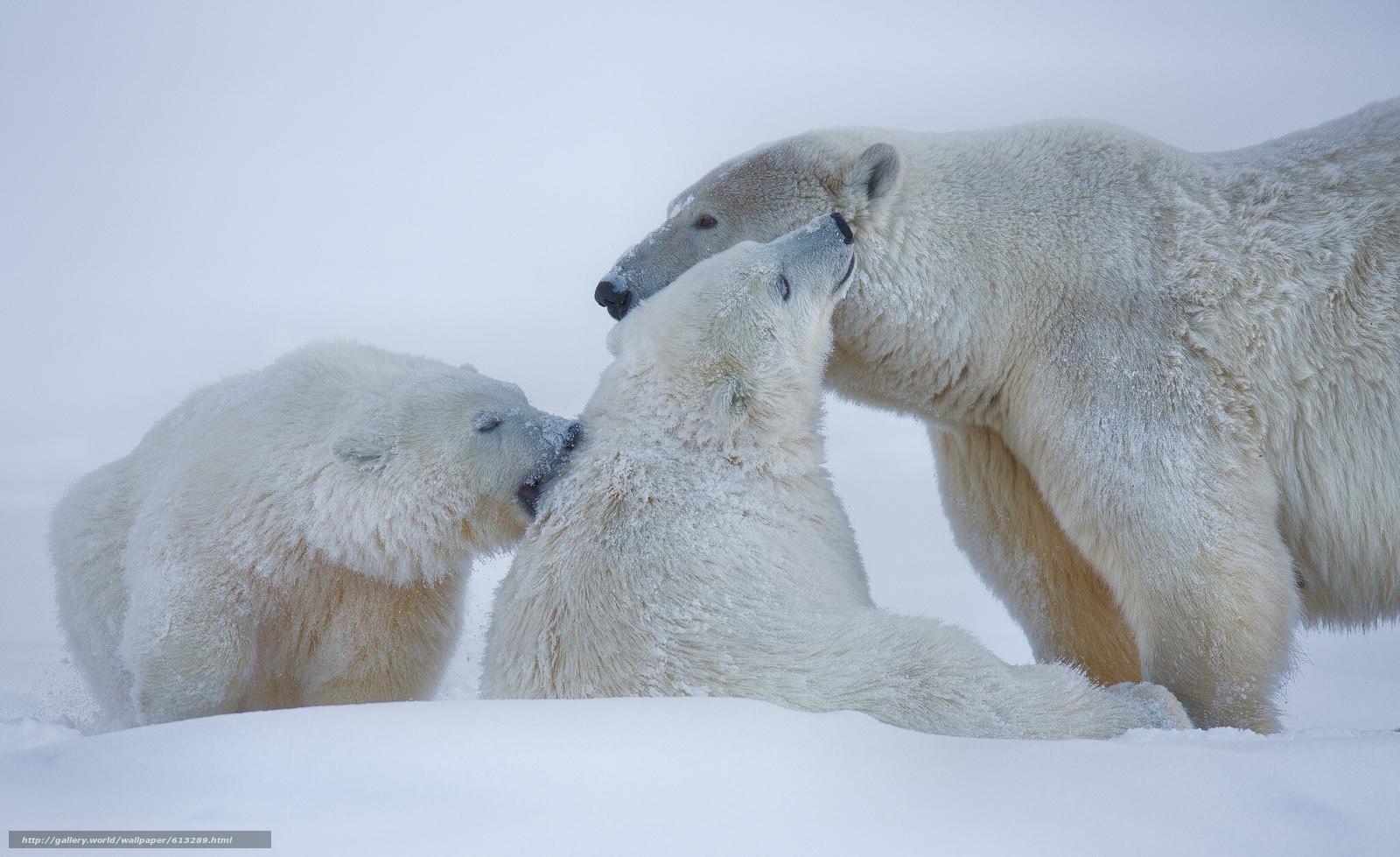 scaricare gli sfondi Orsi polari,  Orsi polari,  Orsi,  Alaska Sfondi gratis per la risoluzione del desktop 2048x1253 — immagine №613289